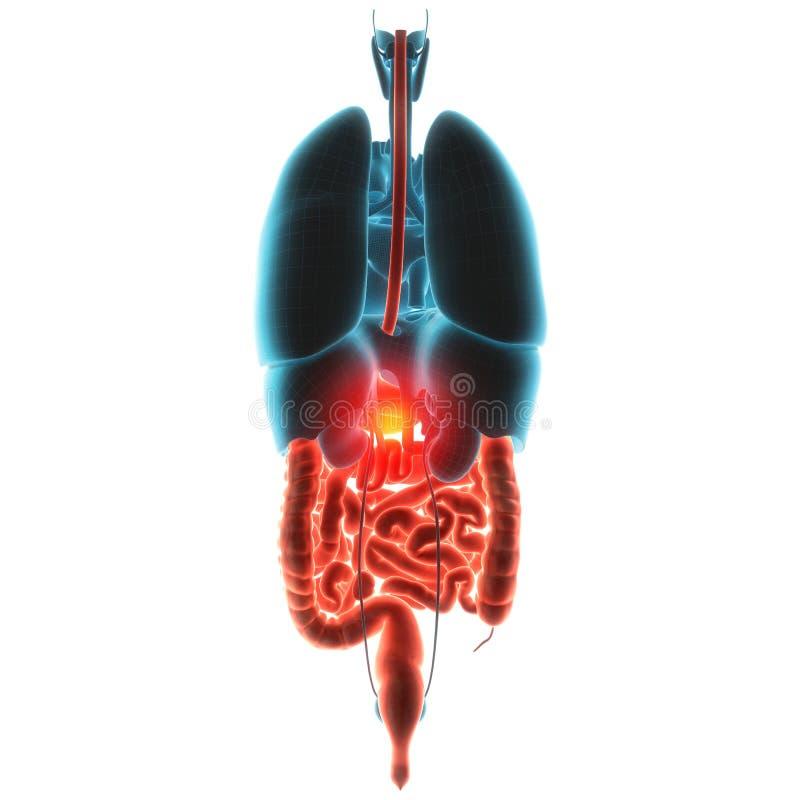 Ejemplo del dolor del órgano del estómago ilustración del vector