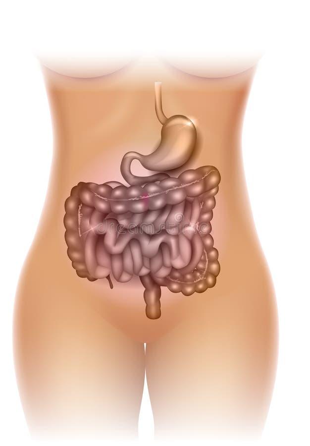 Ejemplo del estómago y de los dos puntos ilustración del vector