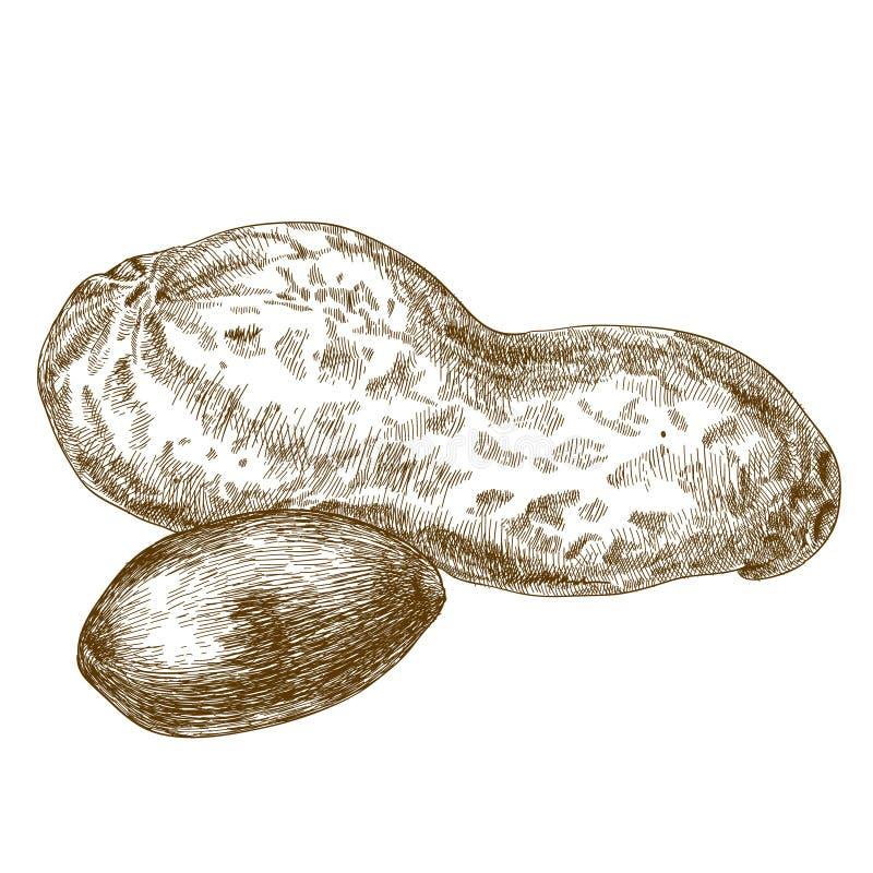 Ejemplo del grabado de la vaina de los cacahuetes stock de ilustración