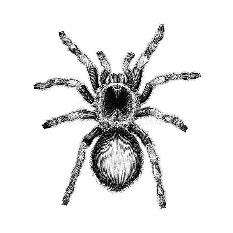 Ejemplo del grabado del vintage del dibujo de la mano de la araña de la tarántula, alquitrán stock de ilustración