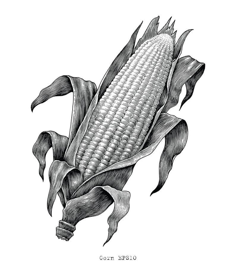 Ejemplo del grabado del vintage del dibujo de la mano del maíz stock de ilustración