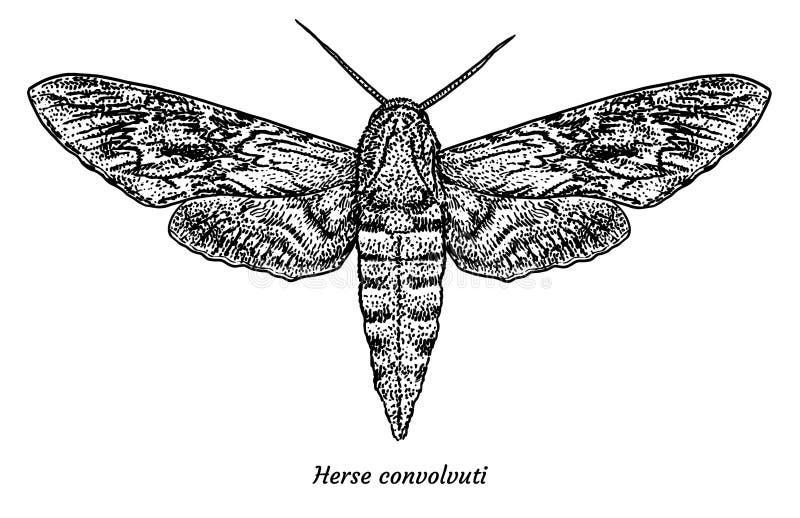 Ejemplo del hawkmoth de la enredadera, dibujo, grabado, tinta, línea arte, vector ilustración del vector