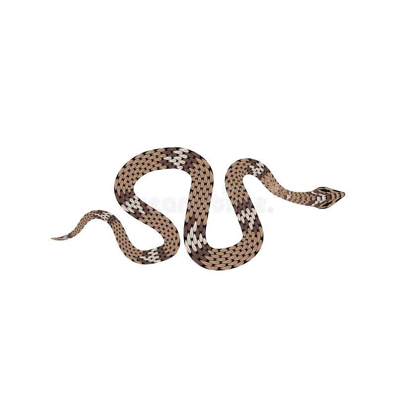Ejemplo del pitón de Brown Serpiente tropical aislada en el fondo blanco imagenes de archivo