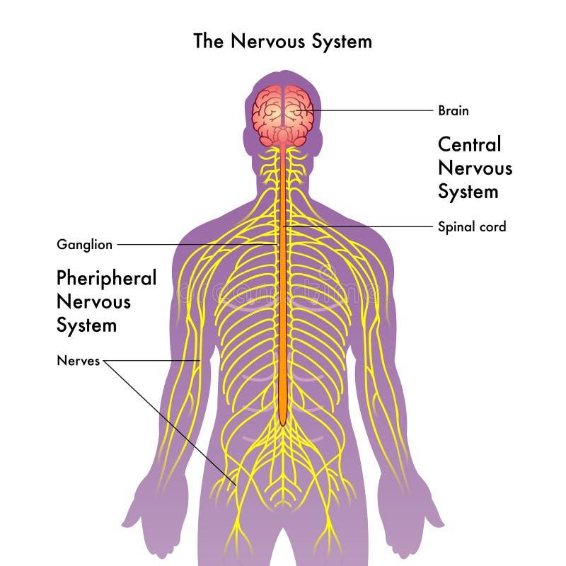 Ejemplo Del Sistema Nervioso Ilustración del Vector - Ilustración de ...