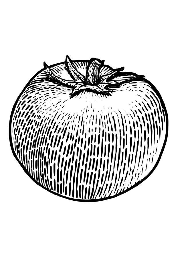 Ejemplo del tomate, dibujo, grabado, línea arte, verdura, vector ilustración del vector