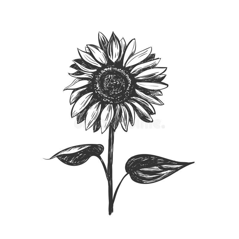 Ejemplo del vector del bosquejo del girasol stock de ilustración