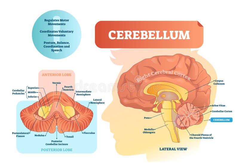 Ejemplo del vector del cerebelo Diagrama etiquetado médico con la visión interna stock de ilustración