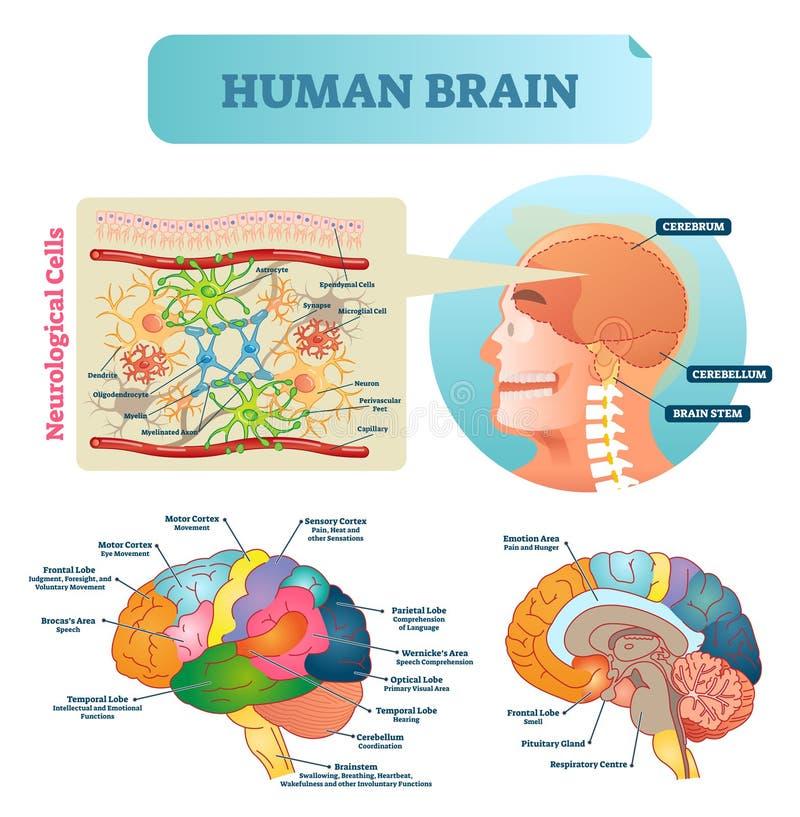 Ejemplo del vector del cerebro Esquema educativo médico con las células neurológicas Silueta con el cerebro, el tronco, la cortez stock de ilustración