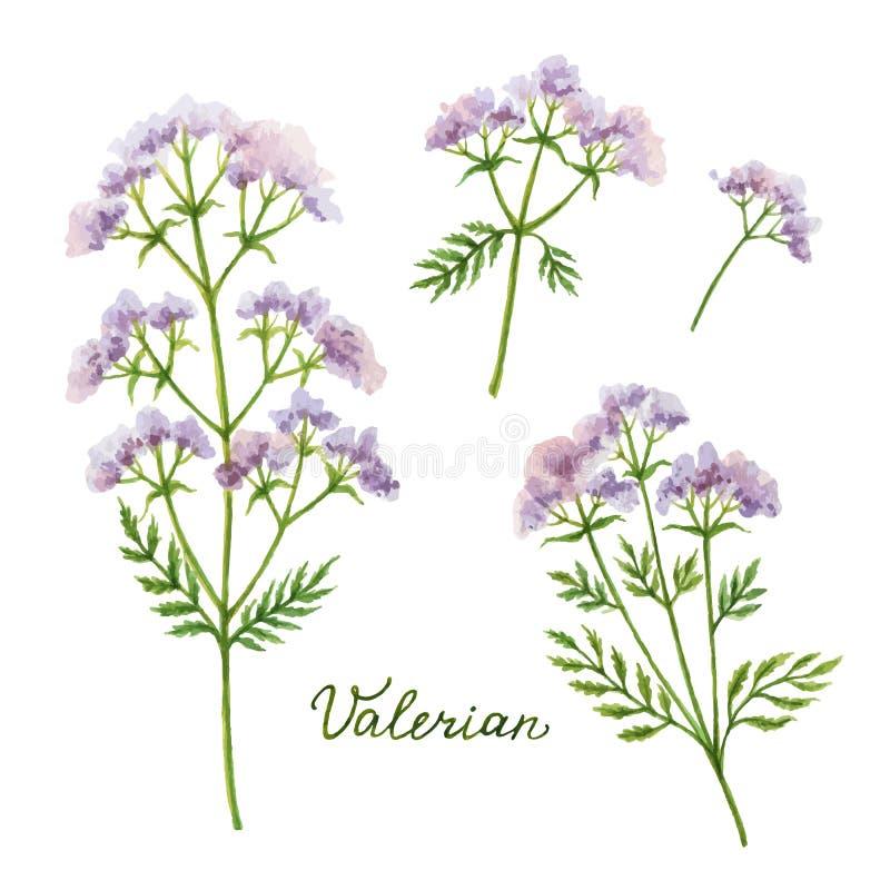 Ejemplo del vector de la acuarela de la valeriana libre illustration