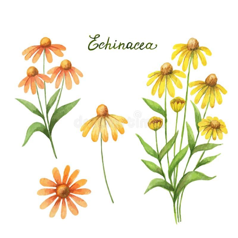 Ejemplo del vector de la acuarela del echinacea stock de ilustración