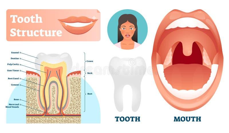 Ejemplo del vector de la estructura del diente Los dientes sanos médicos etiquetados proyectan stock de ilustración