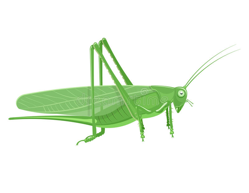 Ejemplo del vector de la historieta del saltamontes aislado en el fondo blanco libre illustration