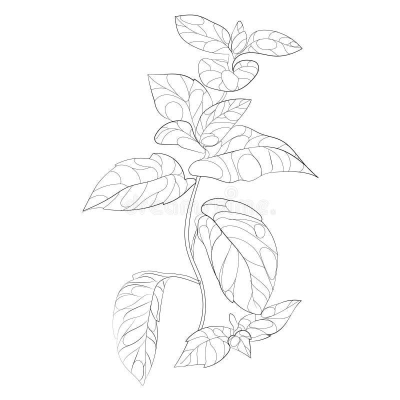 Ejemplo del vector de la menta Una rama de la menta con las flores Planta estilizada arte linear Dibujo blanco y negro a mano libre illustration