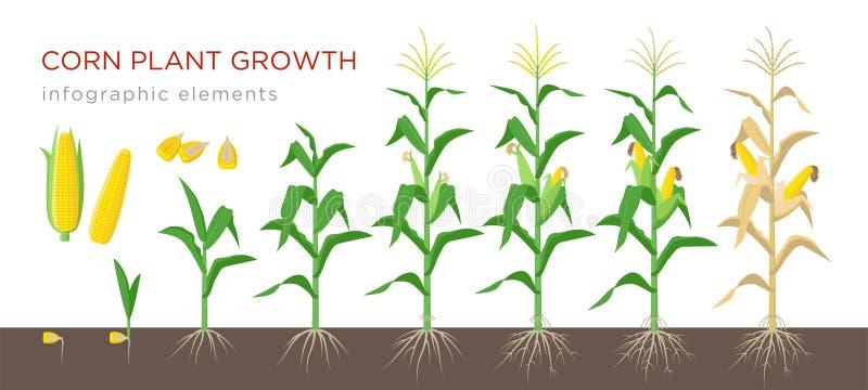 Ejemplo del vector de las etapas del crecimiento de maíz en diseño plano Proceso de establecimiento de la planta de maíz Crecimie libre illustration