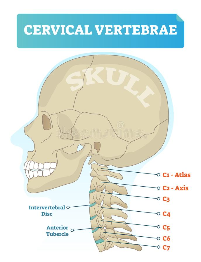 Ejemplo del vector de las vértebras cervicales Esquema con el cráneo y la vértebra de atlas C1 Disco intervertebral y diagrama an stock de ilustración
