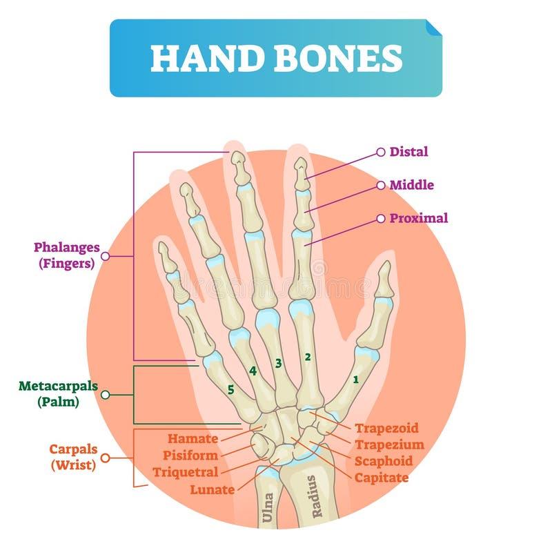 Ejemplo del vector de los huesos de mano Estructura educativa etiquetada del brazo ilustración del vector