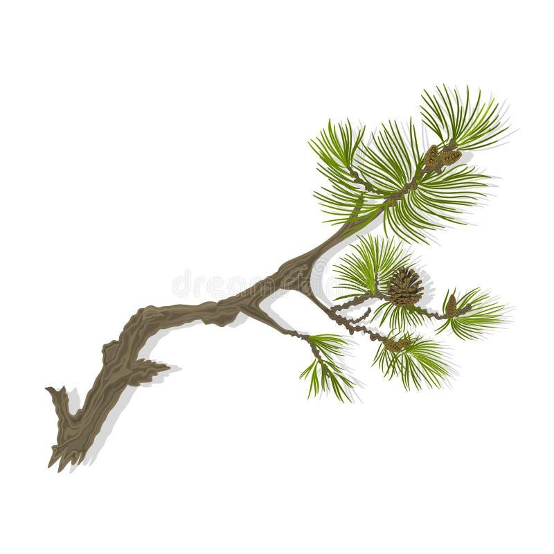 Ejemplo del vector de los pinecones de la pizca del pino de montaña de la rama ilustración del vector