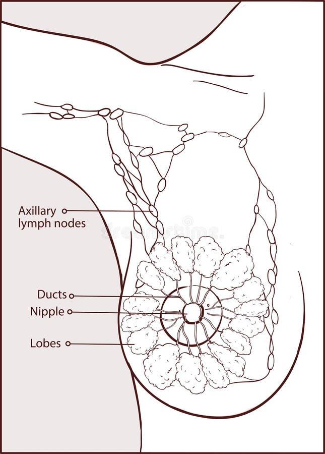 Ejemplo Del Vector De Una Anatomía Del Pecho De La Mujer Ilustración ...