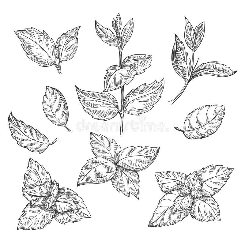 Ejemplo del vector del bosquejo de la mano de la menta El dibujo grabado hierbabuena del mentol se va en el fondo blanco stock de ilustración