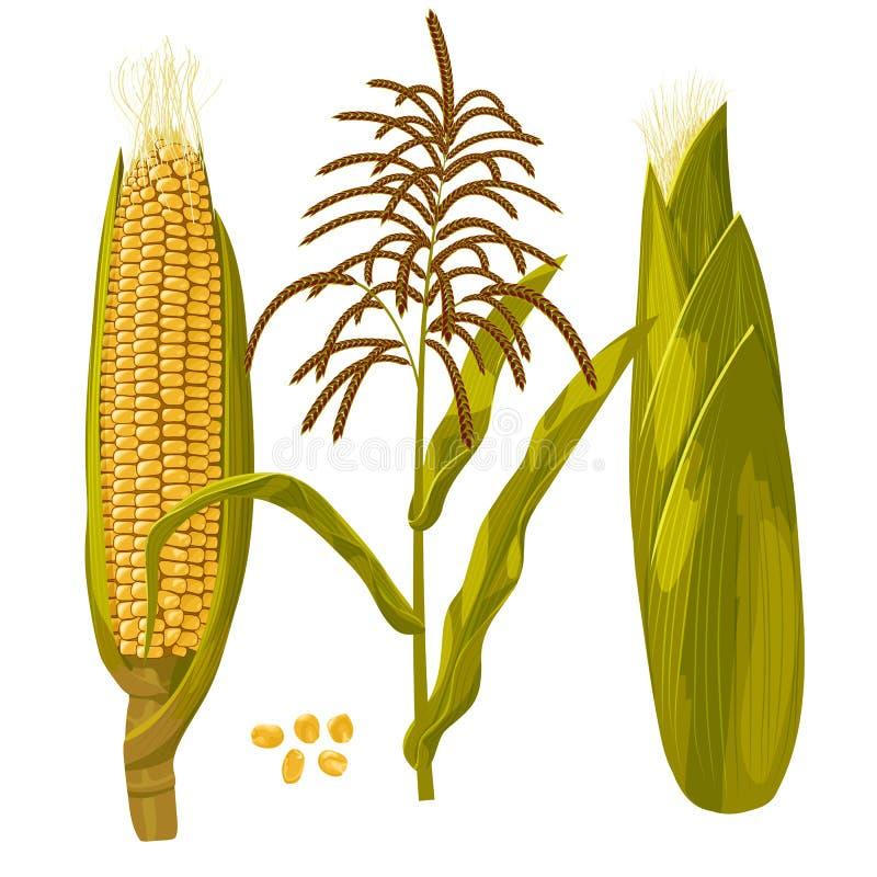 Ejemplo del vector del maíz del maíz Ejemplo aislado botánico dibujado mano realista ilustración del vector
