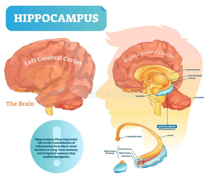 Ejemplo del vector del hipocampo Diagrama etiquetado con el primer aislado stock de ilustración