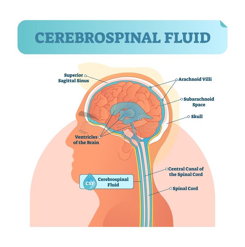 Ejemplo del vector del líquido cerebroespinal Diagrama etiquetado anatómico - canal de la central del sino sigittal superior huma libre illustration