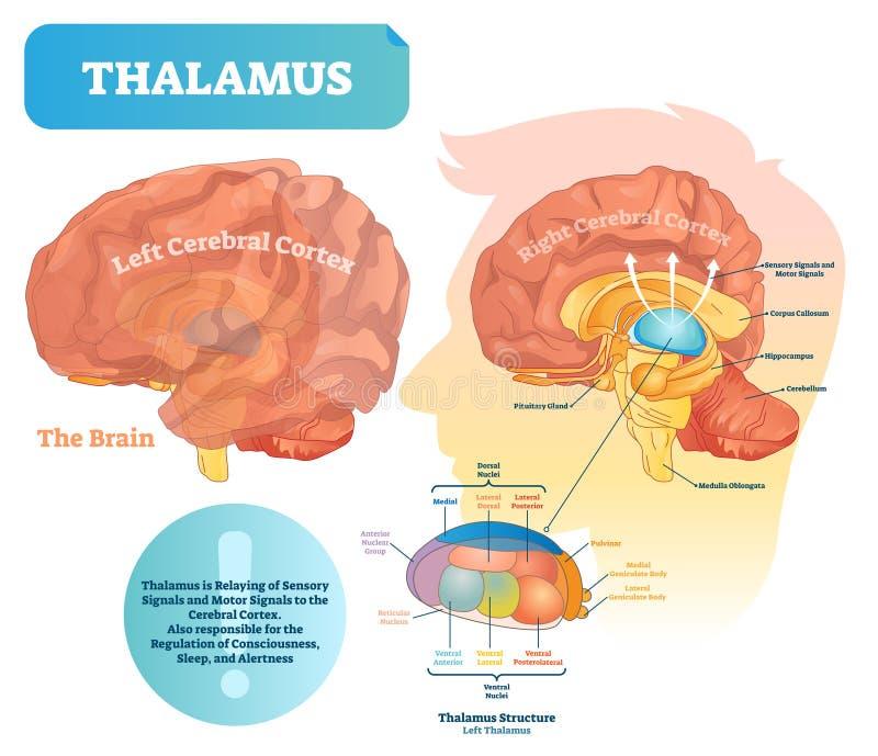 Ejemplo del vector del tálamo Diagrama médico etiquetado con la estructura del cerebro ilustración del vector