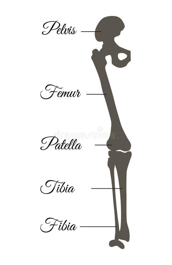 Ejemplo del vector del título del cartel de la pelvis y del fémur stock de ilustración