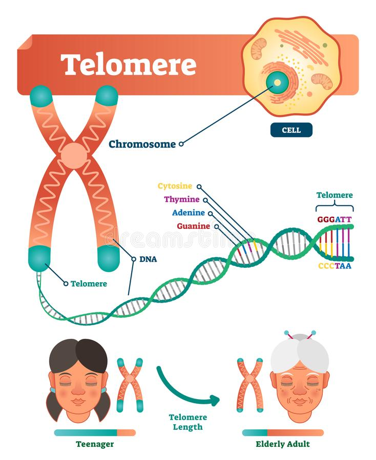 Ejemplo del vector del Telomere Esquema educativo y médico con la célula, el cromosoma y la DNA Diagrama anatómico etiquetado libre illustration