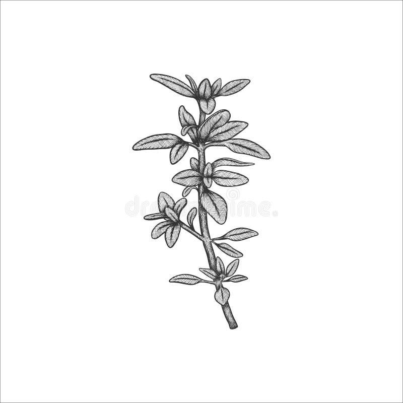 Ejemplo del vector del tomillo de la hierba de Handrawn libre illustration