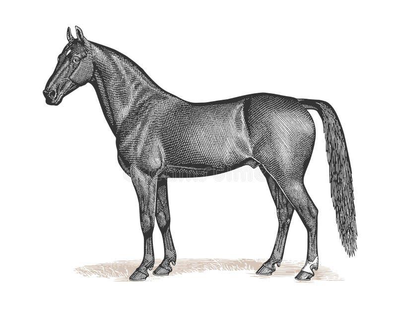Ejemplo del vintage del grabado del caballo libre illustration
