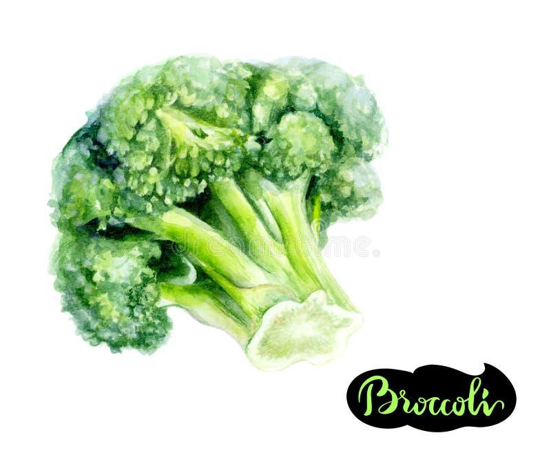 Ejemplo dibujado mano de la acuarela del bróculi aislado en blanco stock de ilustración
