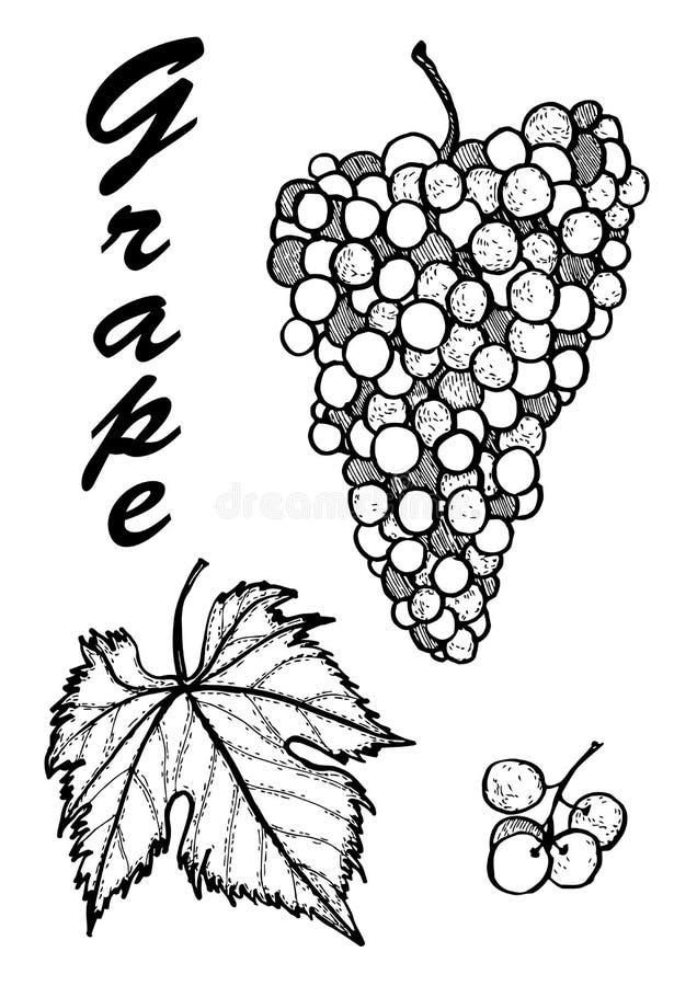 Ejemplo dibujado mano de uvas Ejemplo bot?nico de frutas ejemplo con la fruta del bosquejo fotografía de archivo libre de regalías
