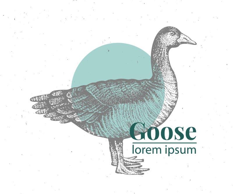 Ejemplo dibujado mano del ganso del vector Estilo retro del grabado Dibujo del animal del campo del bosquejo Duck Logo Template libre illustration