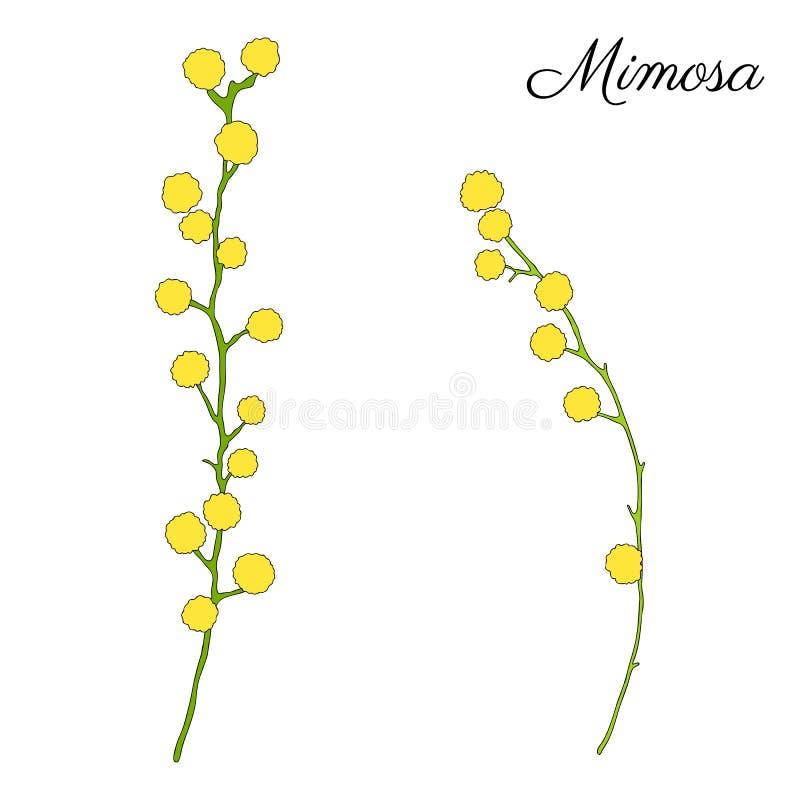 Ejemplo dibujado mano del vector de la flor de la mimosa aislado en el fondo blanco, bosquejo del garabato de la tinta, línea flo ilustración del vector