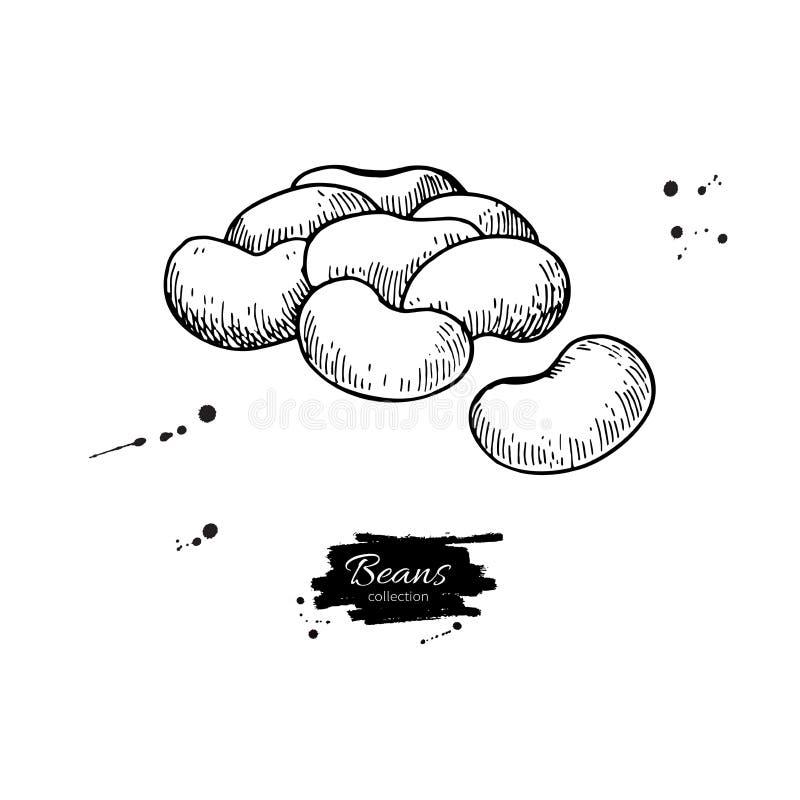 Ejemplo dibujado mano del vector de la planta de haba blanca Objeto grabado verdura aislado del estilo libre illustration
