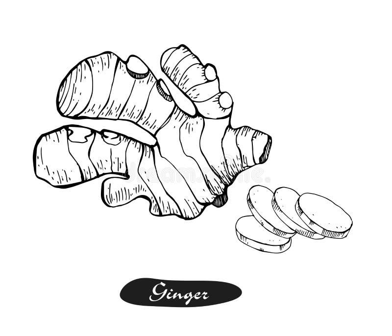 Ejemplo dibujado mano del vector del jengibre Bosquejo retro detallado del estilo Ingrediente herbario del especia de la cocina y stock de ilustración