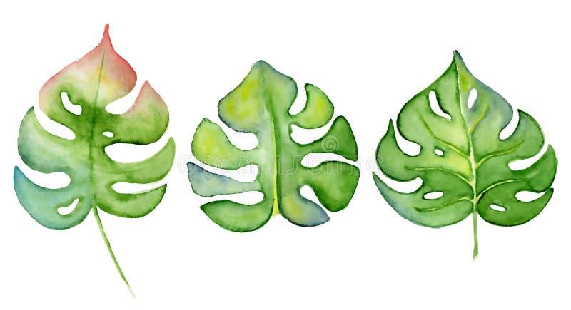 Ejemplo dibujado mano verde de la planta tropical de la acuarela de la hoja del monstera aislado en el fondo blanco ilustración del vector