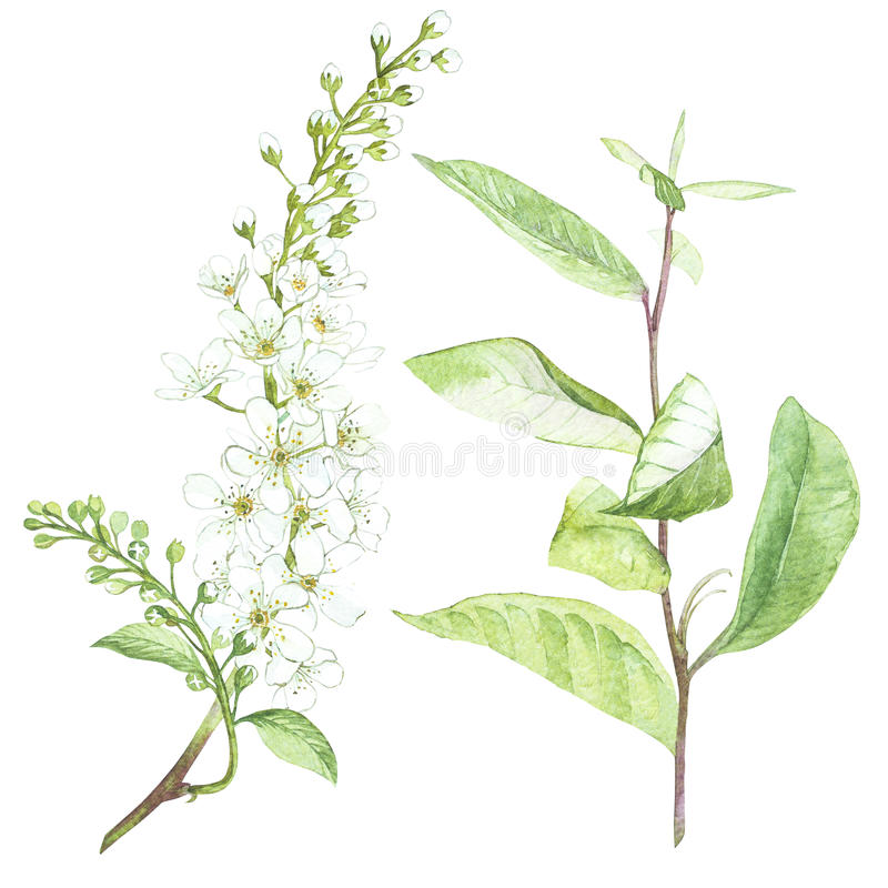 Ejemplo en la acuarela de la flor del árbol de la Pájaro-cereza Tarjeta floral con las flores Ejemplo botánico stock de ilustración