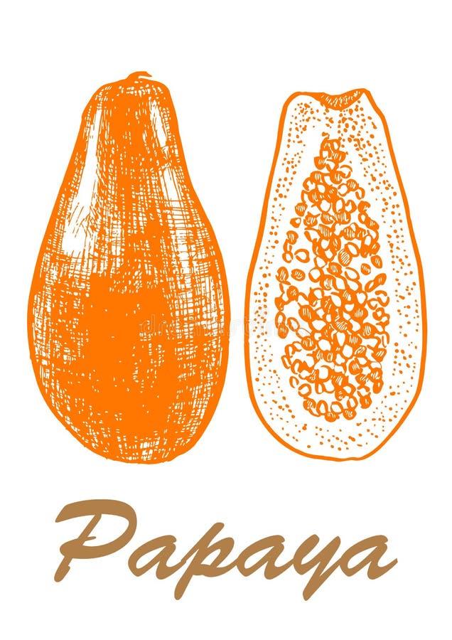 Ejemplo exhausto de la mano del bosquejo de la papaya Ejemplo bot?nico de la comida ejemplo con la fruta del bosquejo Rebecca 36 foto de archivo