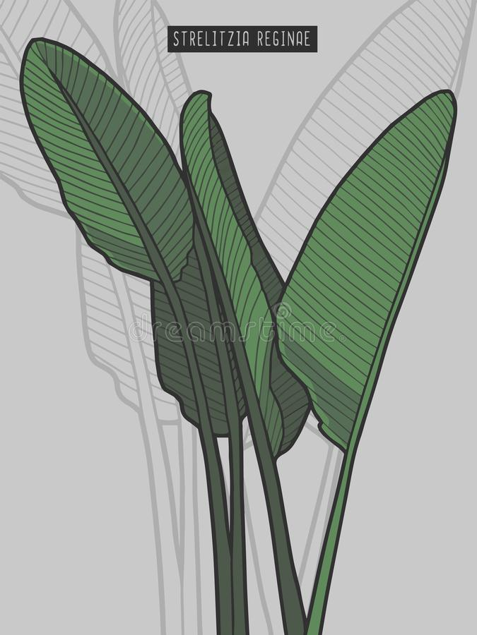 Ejemplo exhausto del vector de la planta tropical de la ave del paraíso de los reginae del Strelitzia stock de ilustración