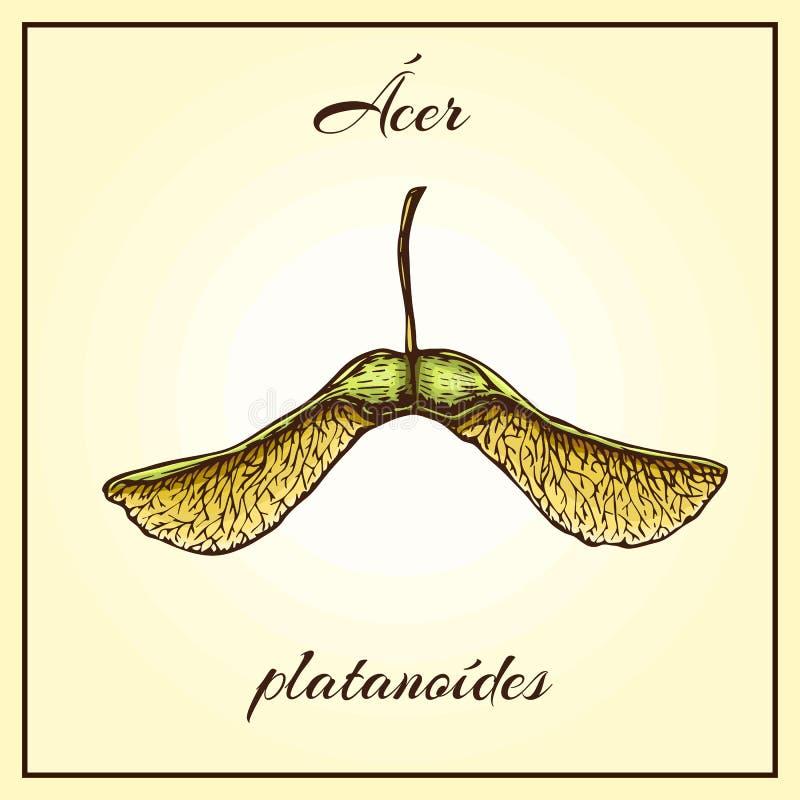Ejemplo exhausto del vector de las semillas del arce de la mano semillas coloreadas del helic?ptero en fondo beige en estilo del  libre illustration