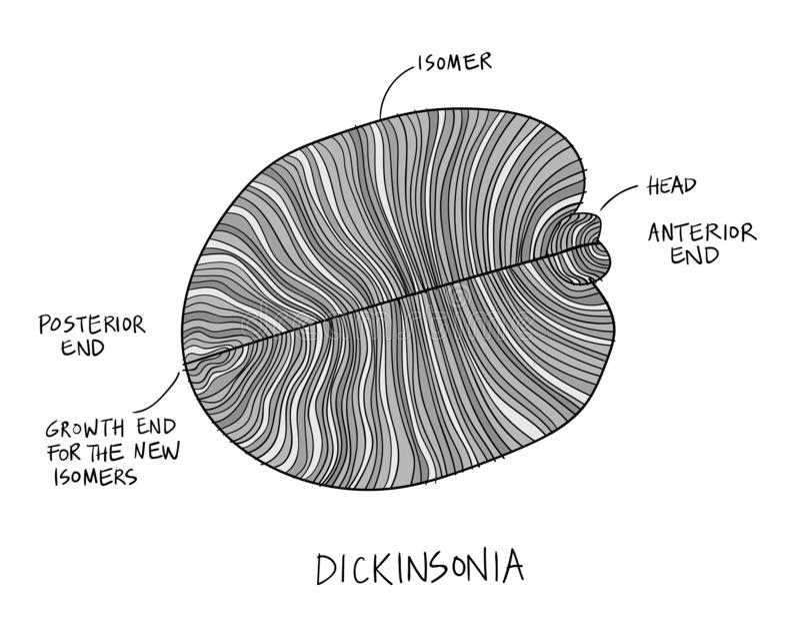 Ejemplo fósil del bosquejo de Dickinsonia Dibujo de la paleontología stock de ilustración
