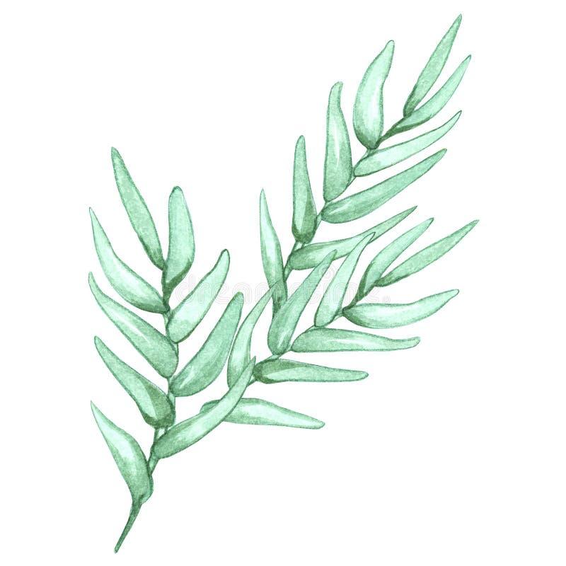 Ejemplo floral de la acuarela con las ramas de olivo aisladas en el fondo blanco ilustración del vector