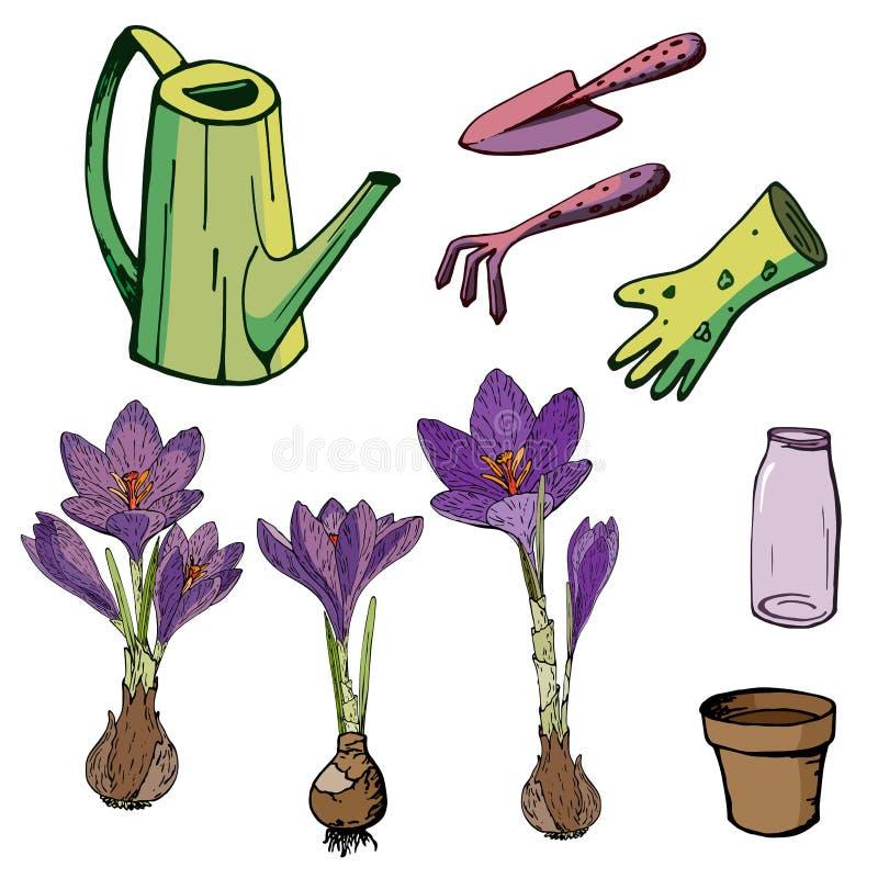 Ejemplo floral del vector con las azafranes ilustración del vector