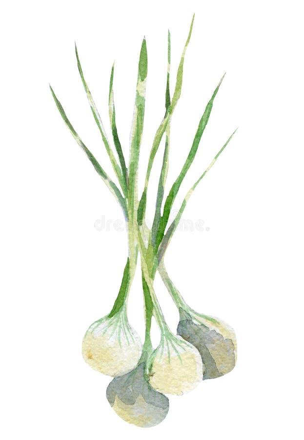 Ejemplo fresco de la cebolla Acuarela dibujada mano en el fondo blanco ilustración del vector