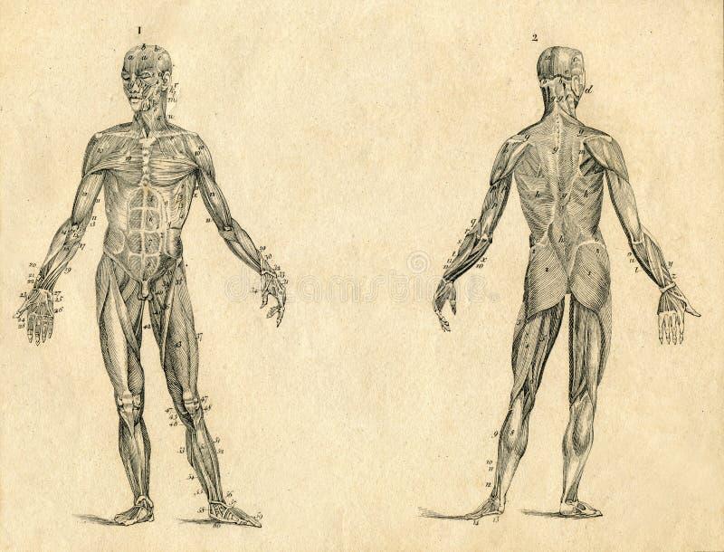 Ejemplo Grabado Dibujo Humano Del Vintage De La Anatomía Del Músculo ...