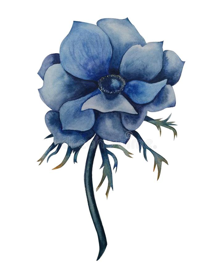 Ejemplo Handdrawn de la acuarela aislado en el fondo blanco Flor hermosa de la anémona Placa botánica suculenta - abandone el cac libre illustration
