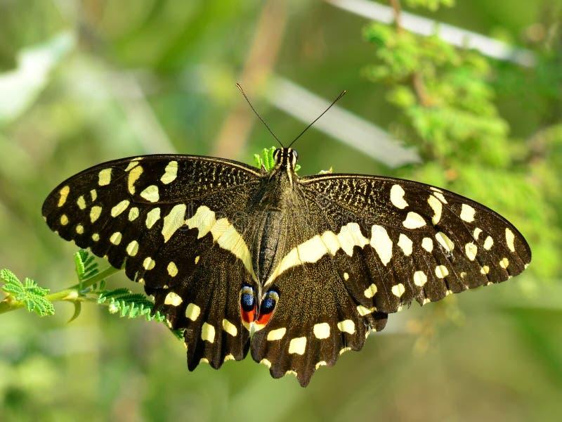 Swallowtail de la fruta cítrica imagen de archivo