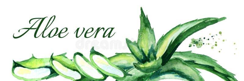Ejemplo horizontal de Vera del áloe orgánico Acuarela dibujada mano stock de ilustración